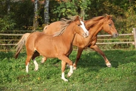 Two gorgeous ponnies running on pasturage in autumn