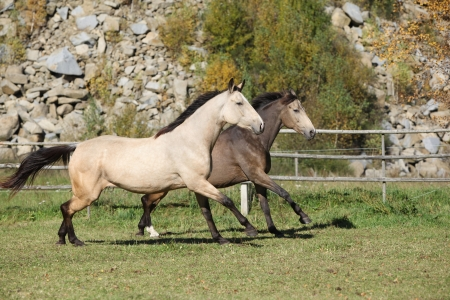 Two Kinsky horses running together on pasturage