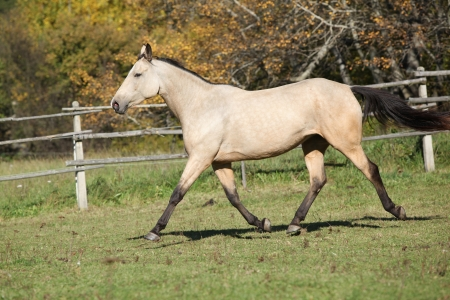 warmblood: Beautiful kinsky horse running on pasturage in autumn