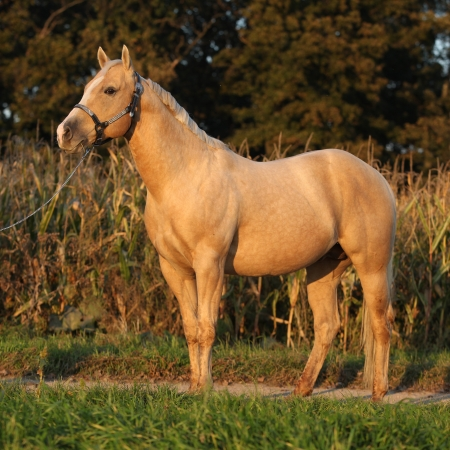 inaction: Portrait of nice palomino horse in autumn sunset