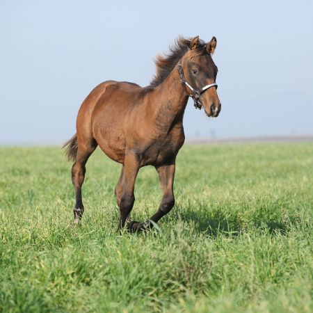 halter: Beautiful brown foal running with western halter in freedom Stock Photo