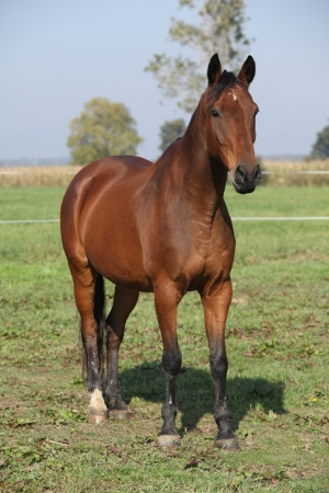 thoroughbred horse: Nice brown warmblood standing on pasturage in autumn Stock Photo