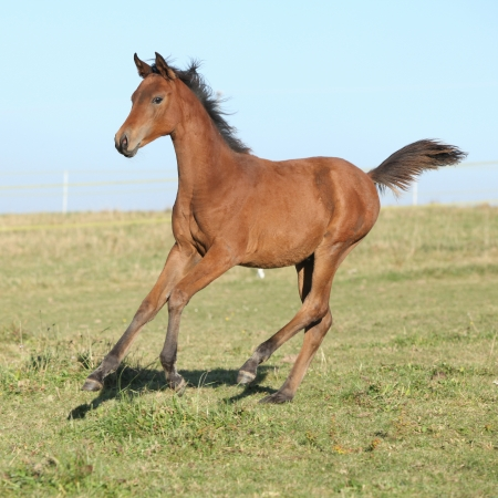 Perfect brown arabian horse foal running on pasturage
