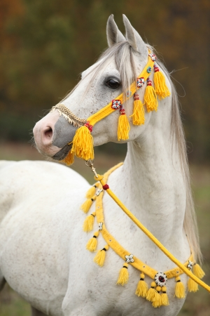 halter: Beautiful white arabian stallion with nice show halter in autumn