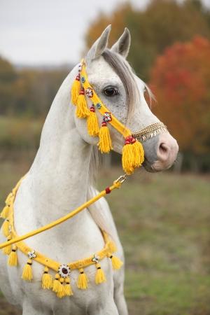 Schöner weißer arabischer Stallion mit schönen Show Halfter im Herbst Standard-Bild