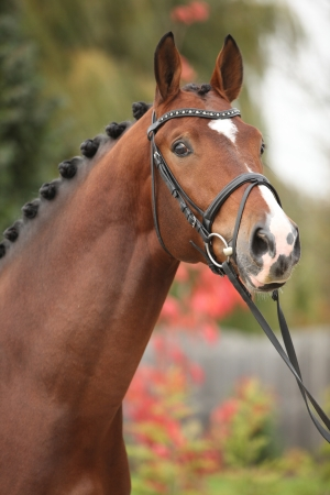 warmblood: Nice big horse with perfect hair style in autumn