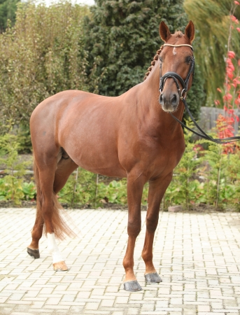 warmblood: Beautiful dutch warmblood with perfect hair style in autumn