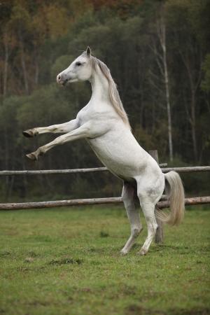 mottle: Splendido stallone arabo rampante in pascoli in autunno Archivio Fotografico