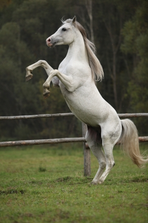 Gorgeous arabian stallion prancing on pasturage in autumn
