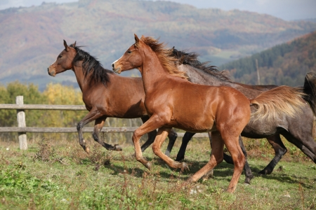 pasturage: Group of horses running together on autumn pasturage