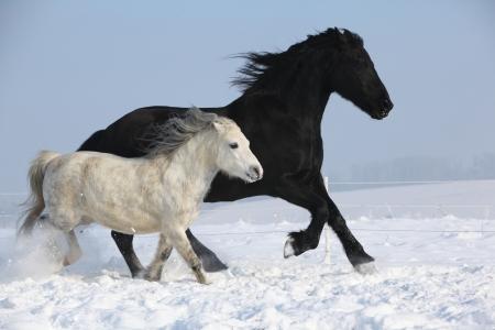 black horse: Caballo negro y blanco caballo corriendo juntos en invierno Foto de archivo