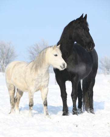 Black horse and white pony together in winter Stock Photo