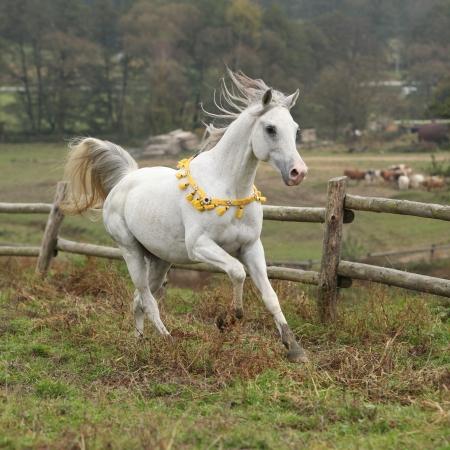 Nizza weißen arabischen Hengst mit fliegenden Mähne auf Weide laufen