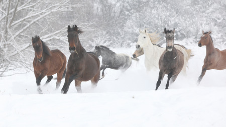 Batch of horses running together in winter photo