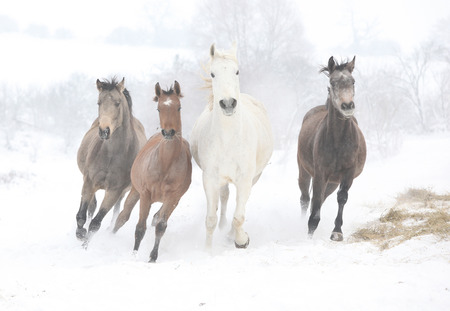 Batch of horses running together in winter