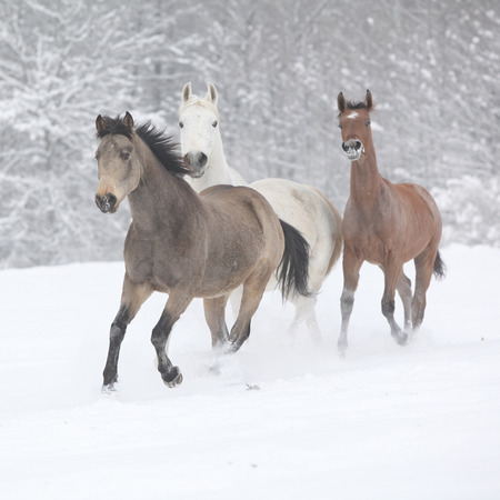 batch: Batch of horses running together in winter