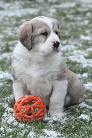 Amazing Central Asian Shepherd puppy sitting on snow and grass in winter photo