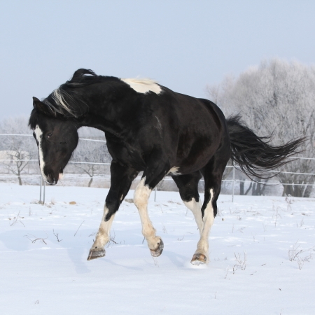 piebald: Gorgeous paint horse stallion running on winter pasturage alone Stock Photo