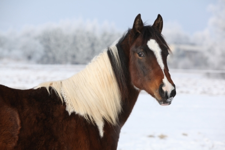 piebald: Portrait of nice young paint horse mare in winter