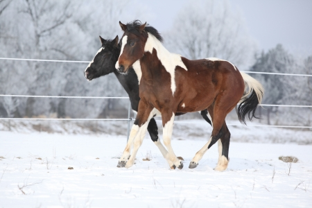 skewbald: Two paint horses playing on snow in cold winter Stock Photo