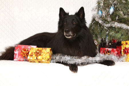 Amazing six years old groenendeal dog with christmas decorations photo