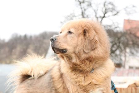 patrolling: Amazing big Tibetan mastiff patrolling in the garden