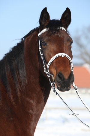 warmblood: Portrait of beautiful brown warmblood with white bridle in winter Stock Photo