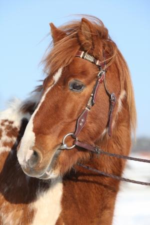 skewbald: Nice skewbald pony with bridle in winter Stock Photo