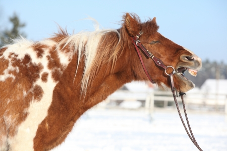 bridle: Nice skewbald pony yawning with bridle in winter Stock Photo