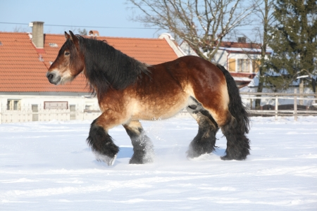 horse in snow: Gorgeous dutch draught horse with long mane running in the snow in winter