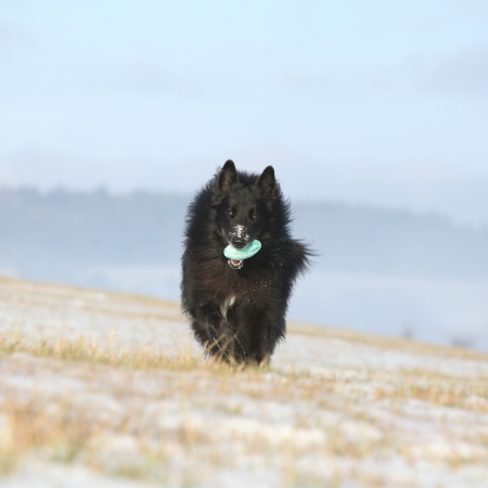 Nice six years old Groenendael running while its holding a toy in winter photo