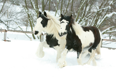 piebald: Mare with foal of irish cob together in winter