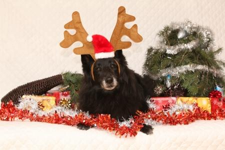 berger: Black Chien de Berger Belge lying with reindeer antlers in a christmas