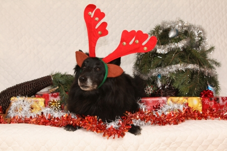 berger: Black Chien de Berger Belge lying with reindeer antlers in a christmas