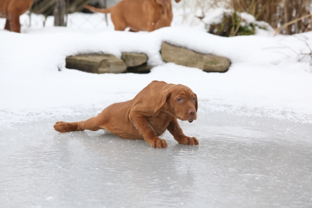 Hungarian Short-haired Pointing Dog sliding on ice in winter