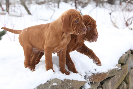 Two puppies of Hungarian Short-haired Pointing Dog together in winter Stock Photo