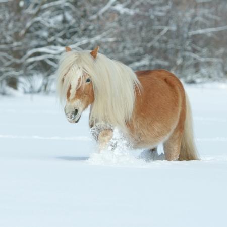 Amazing chestnut haflinger running in the snow