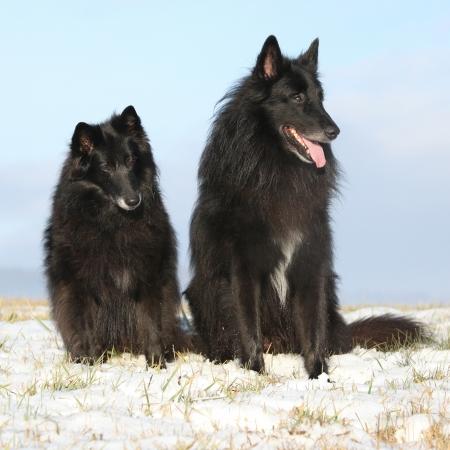 bitch: Dos Groenendaels incre�bles, perra diez a�os de edad con el hijo de seis a�os, sentado en invierno Foto de archivo