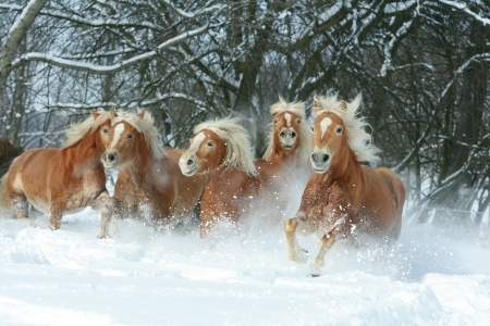 batch: Batch of haflingers running together in winter Stock Photo