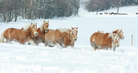 batch: Lote de haflingers corriendo juntos en invierno