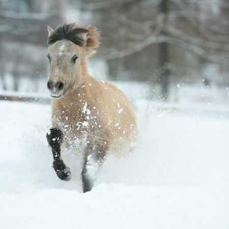 Adorable and cute bay pony with long mane running in winter