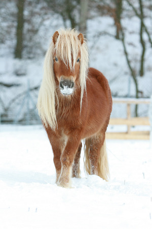 Beautiful chestnut shetland pony with long mane in winter