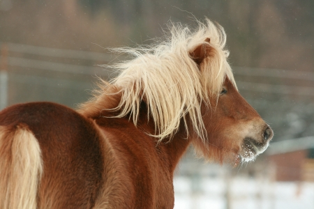 inaction: Beautiful chestnut shetland pony with long mane in winter