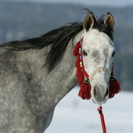halter: Nice arabian horse with beautiful show halter in winter