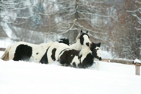 batch: Lote de mazorcas irland�s corriendo juntos en invierno