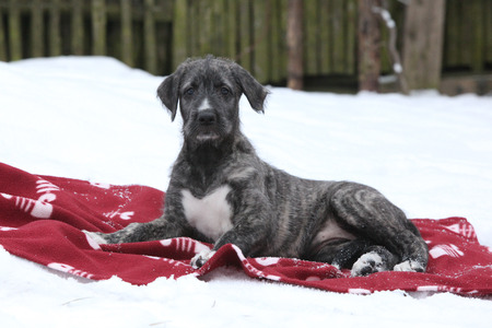 Nice Irish Wolfhound puppy lying on red blanket in winter Zdjęcie Seryjne - 24673881
