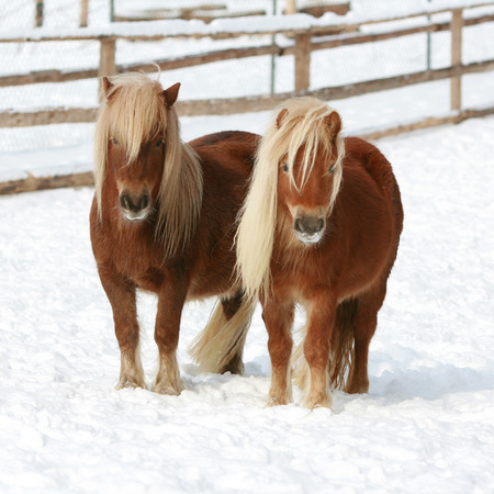 Two shetland ponnies with long mane standing together in winter Stock Photo