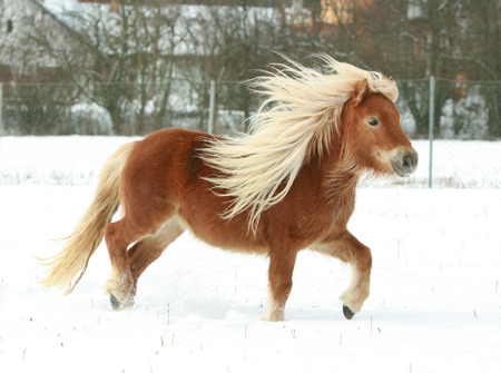 Gorgeous shetland pony with long blond mane in winter Stock Photo