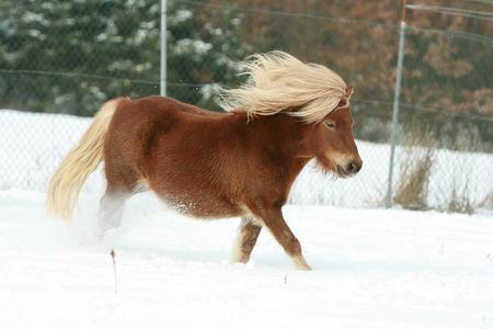 shetland pony: Gorgeous shetland pony with long blond mane in winter Stock Photo