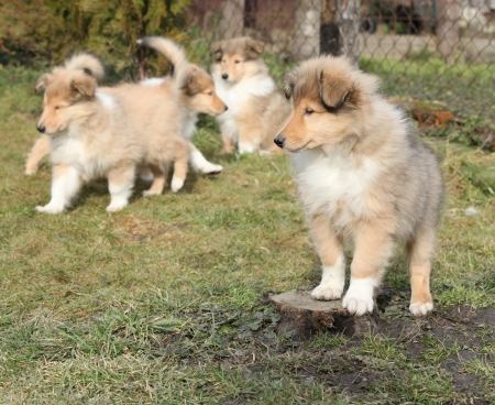 Gorgeous Scotch Collie puppies playing in the garden Stock Photo